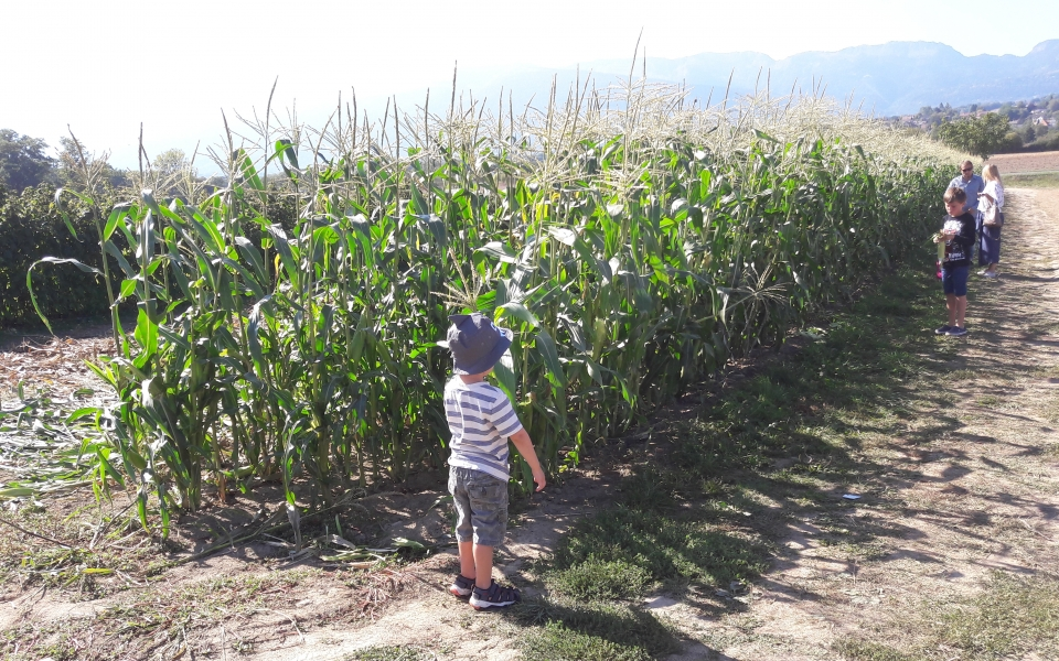 Children with parents are picking corns in a field.