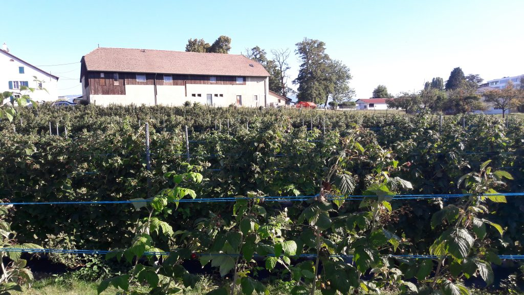 A self-pick field of raspberries and blueberries in Meyrin, Switzerland