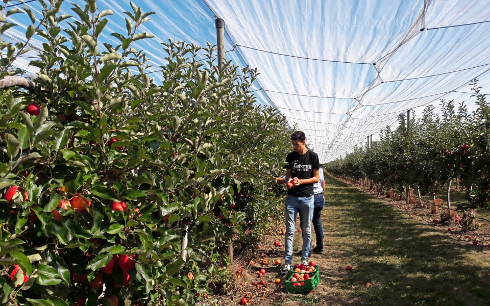 A man picks his own apples in an orchard